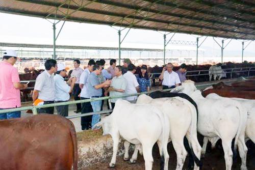 thực hiện dự án Chăn nuôi bò thịt